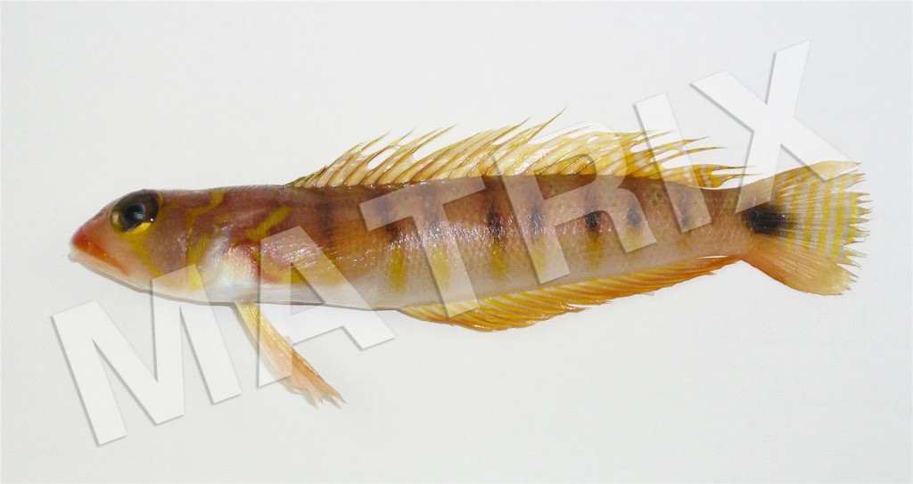 FS-0041_オキトラギス