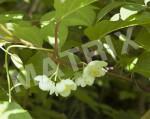AP-0018_マタタビ花