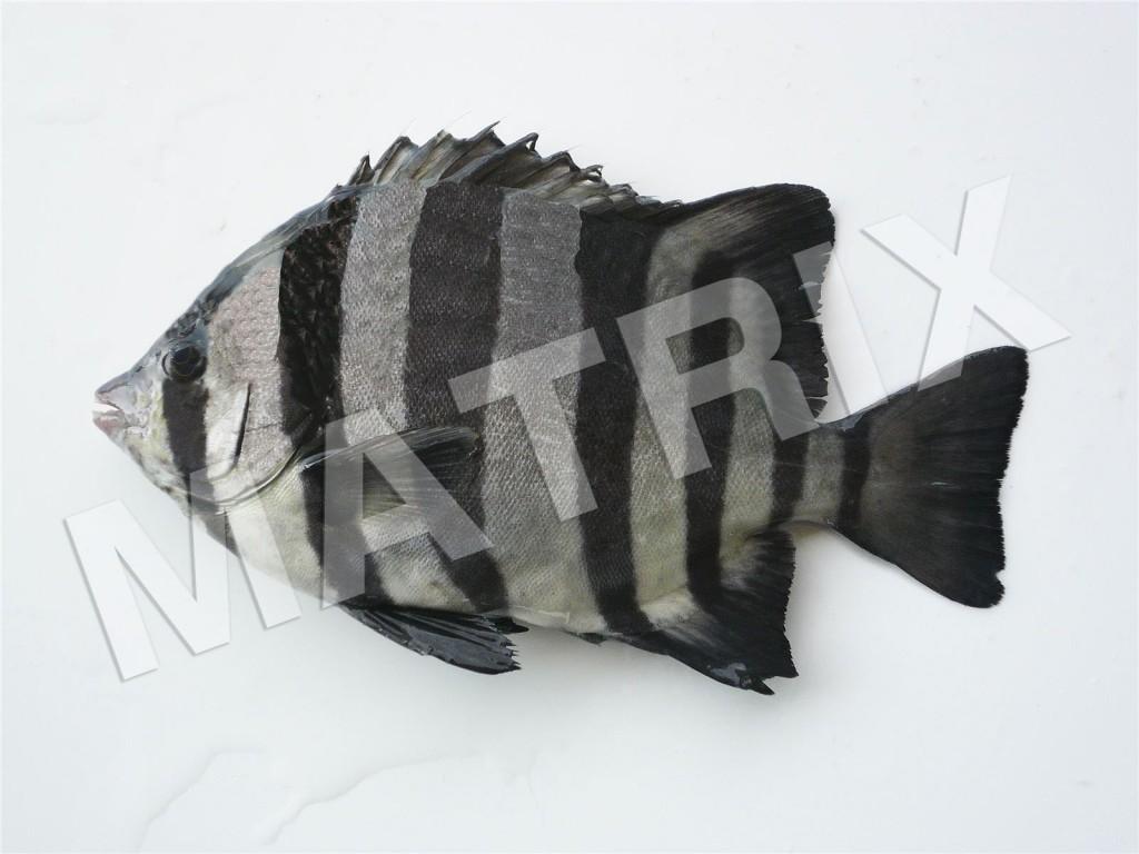 FS-0021_イシダイ(幼魚)