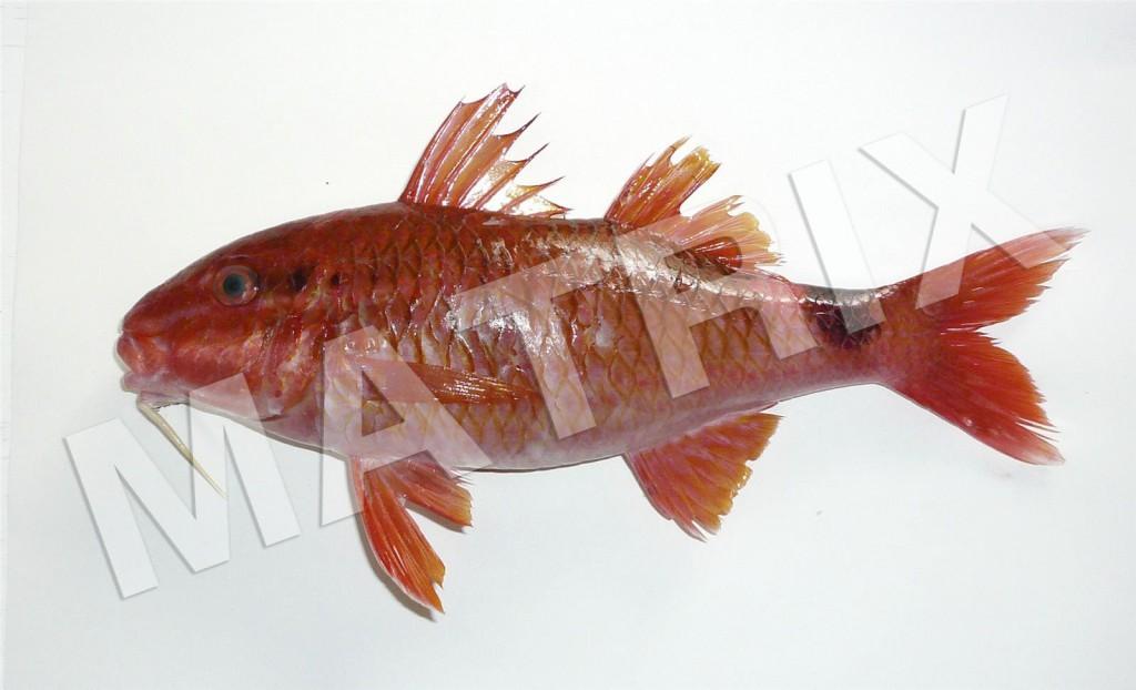 FS-0043_オジサン(ホウライヒメジ)