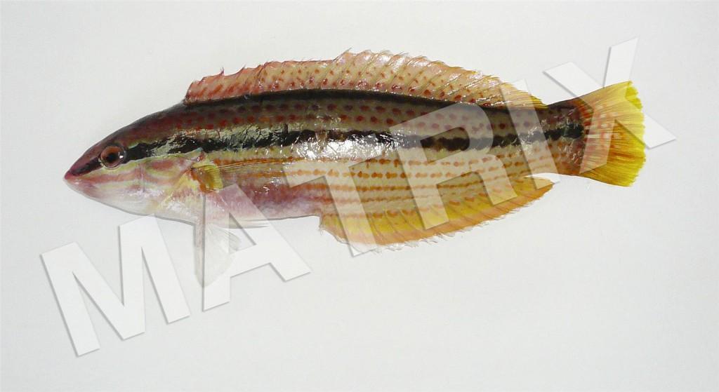 FS-0069_キュウセン(雌相)02