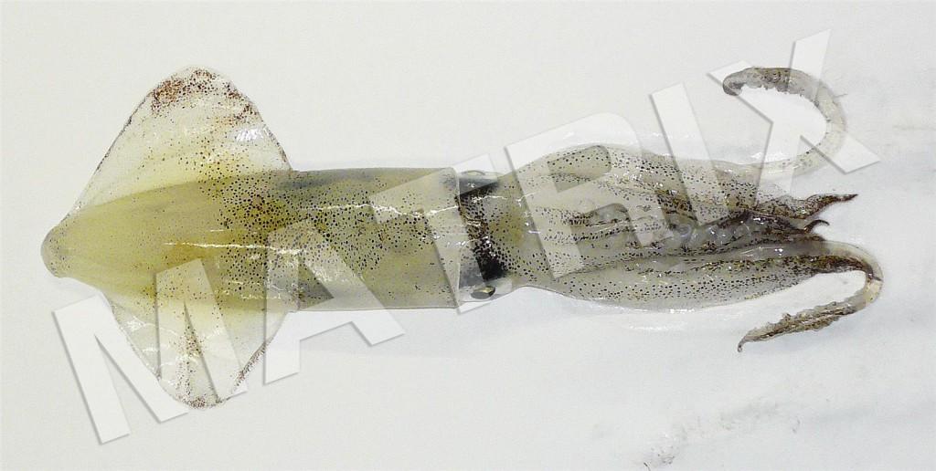 FS-0110_ジンドウイカ
